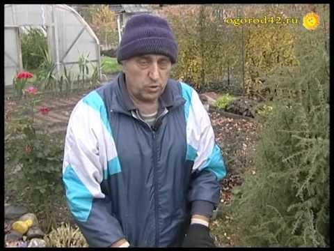Укрытие крупнолистовой гортензии на зиму