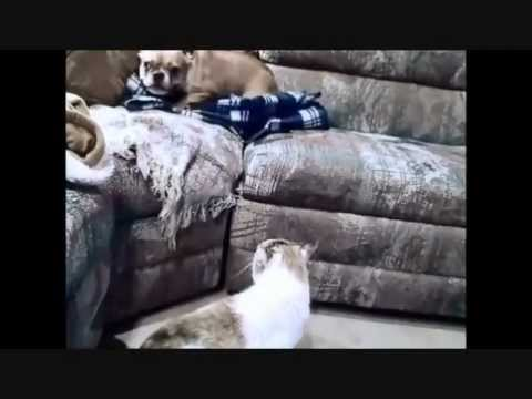 Cat attacks Annoying dog