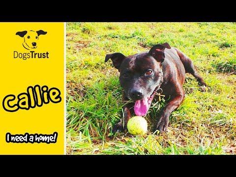 Callie the Staffordshire Bull Terrier Loves her Playtime! | Dogs Trust West Calder