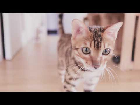 Sunday mood  |  Cat Bengal Russian Blue British shorthair