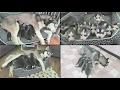 10 NEWBORN SIBERIAN HUSKY PUPPIES WATCH THEM GROW NEWBORN 6 WEEKS OLD TIME LAPSE