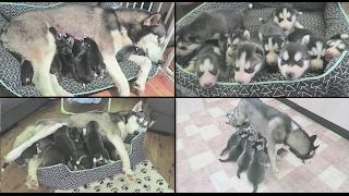 10 NEWBORN SIBERIAN HUSKY PUPPIES | WATCH THEM GROW | NEWBORN  6 WEEKS OLD | TIME LAPSE!