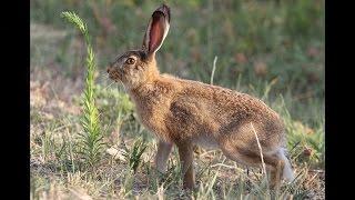 Храбрый заяц. Астраханская область.