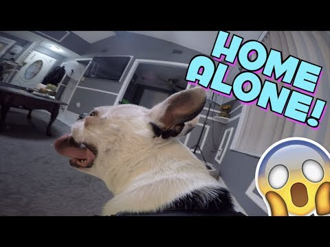 GOPRO ON BOSTON TERRIER DOG LEFT HOME ALONE WITH CAMERA | YOU WONT BELIEVE WHAT HAPPENED NEXT