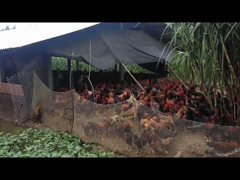 Mô hình chăn nuôi gà NÒI -  DABACO tại Sóc Trăng