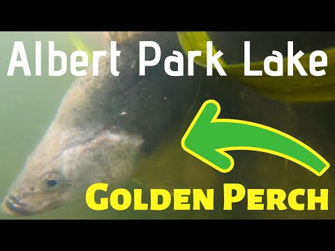 Pre School Holidays Chasing Gold, Albert Park Lake Yellow Belly Perch Early Spring 2019