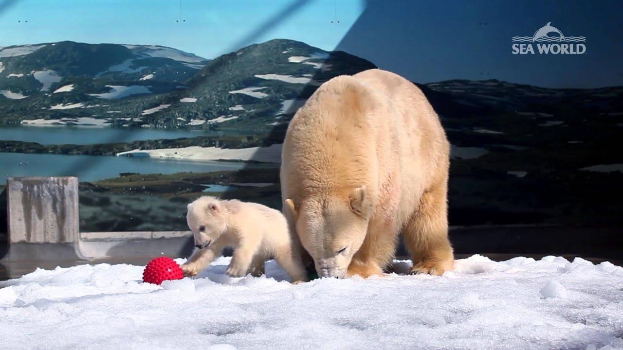 Polar Bear Cub in