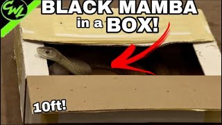 BLACK MAMBA IN A BOX!!!