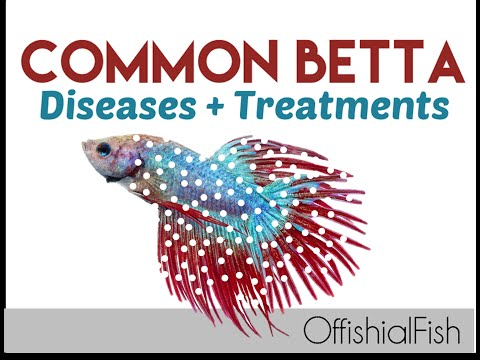 Common Betta Diseases + Treatments