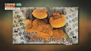 동서양을 막론! '해독제'로 널리 쓰인 상황버섯(❁´◡…