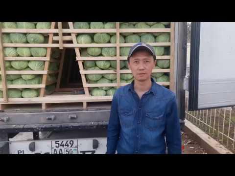 Капуста ЦЕНТУРИОН F1 готова к отправке на экспорт | сурхандарьинская | выращивание | узбекистан | центурион | отправка | область | капусты | капуста | семена | centurion