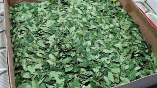 Aprenda desidratar ervas medicinais corretamente