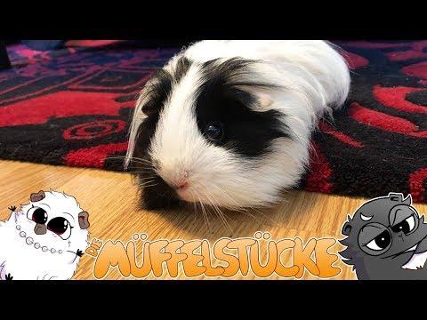 warum-meidet-meerschweinchen-onigiri-das-parkett?- -die-müffelstücke