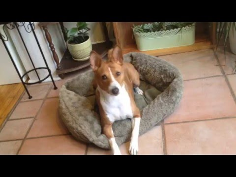 Basenji Sass: She listens only when she wants to