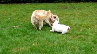 Jack Russell Puppy And Yorkshire Terrier Cross Playing!