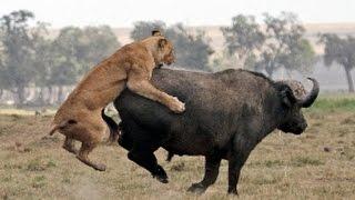 Elefante amigo salva um búfalo! Leões vs búfalo vs elefantes !