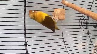Video Lovebird olive download MP3, 3GP, MP4, WEBM, AVI, FLV Agustus 2018