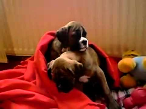 funny video sleepy boxer puppies can 39 t stay awake youtube. Black Bedroom Furniture Sets. Home Design Ideas