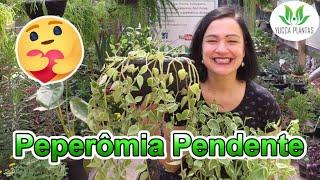 Peperômia Pendente – Conheça Essa Linda Suculenta