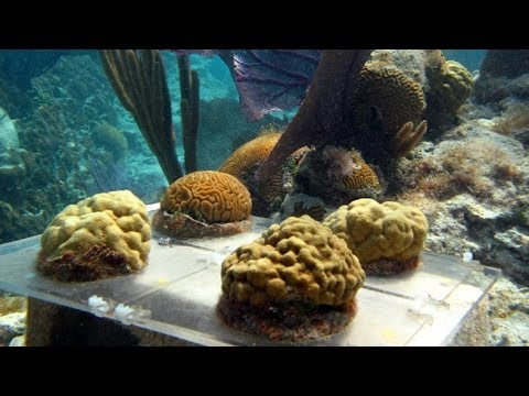 Acidifying The Ocean:  Assessing Impacts On Coral Reefs