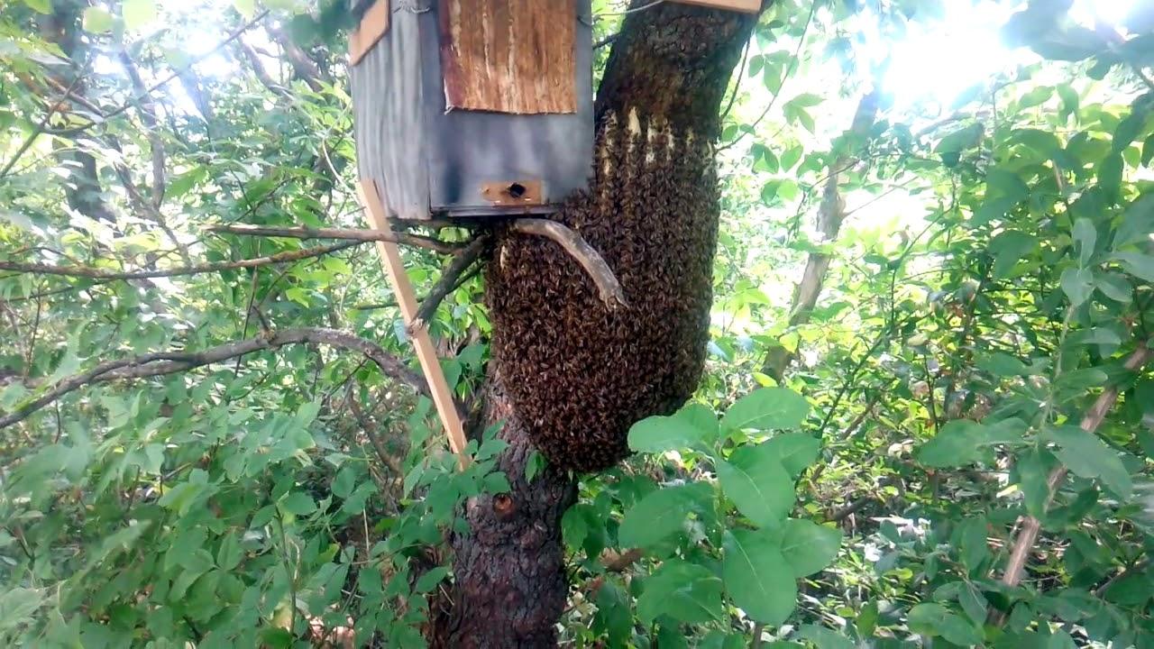 Ловля бродячих роёв пчёл