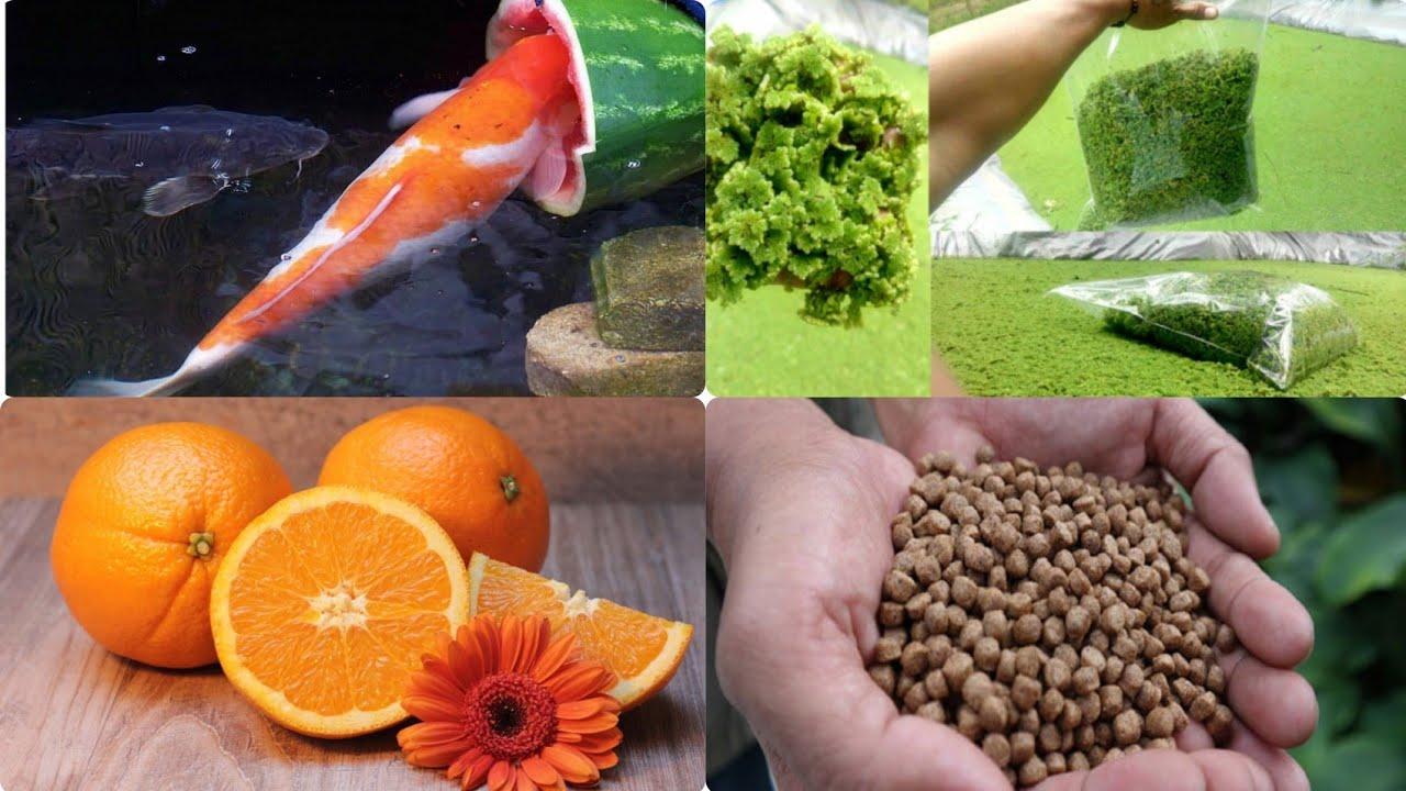 Jenis Makanan Ikan Koi Agar Cepat Besar Dan Efektif Type Of Koi Fish Food To Be Large And Effective Youtube