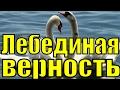 Песня ЛЕБЕДИНАЯ ВЕРНОСТЬ Рок Острова Захаров Два белых лебедя лучшие популярные песни о любви mp3