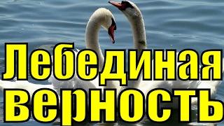 Песня ЛЕБЕДИНАЯ ВЕРНОСТЬ Рок Острова Захаров Два белых лебедя лучшие популярные песни о любви