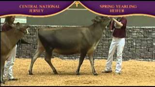 Jersey Spring Yearling Heifer