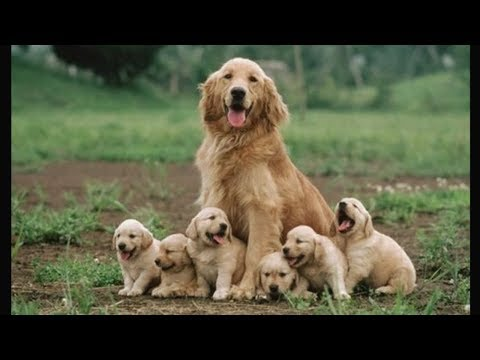 Funny and Cute Golden Retriever Puppies Compilation #1 - Cutest Golden Retriever