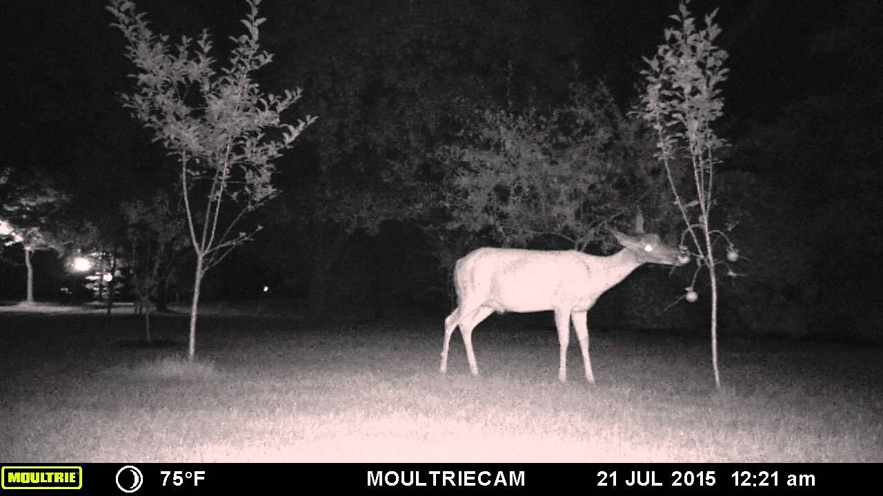 Wireless Deer Fence 174 Scares Deer From Apple Trees Youtube