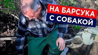 Как ловить барсука с норными собаками