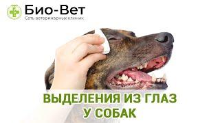 Выделения из глаз у собак. Ветеринарная клиника Био-Вет.