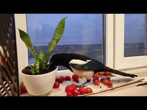 Впустите птицу с воли! Сорока Мишаня хочет тепла и уюта