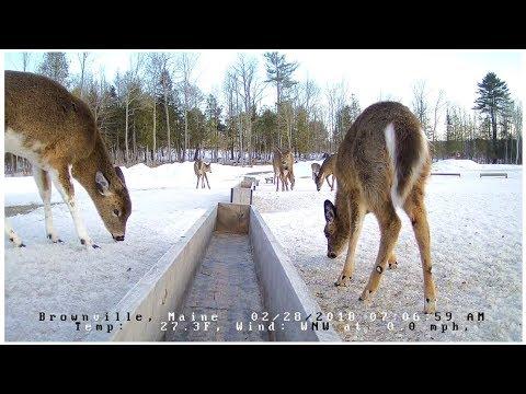 Brownville Food Pantry For Deer 2 28 18 Piebald Deer ...