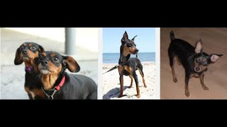 9 Reasons To Own A Miniature Pinscher