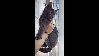 Спб. Котенок Дымочка, 2 мес, девочка, породы русская голубая ищет заботливых хозяев.