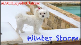 Lucy Enjoying HTown Winter Storm | XOXO Lucy The Maltese