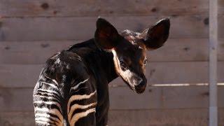 First Successful Okapi Birth at the Houston Zoo!
