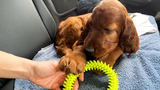 Irish setter puppy goes to a new home