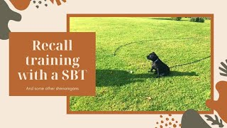 Recall training with a Staffordshire Bull terrier   Dog Training #001