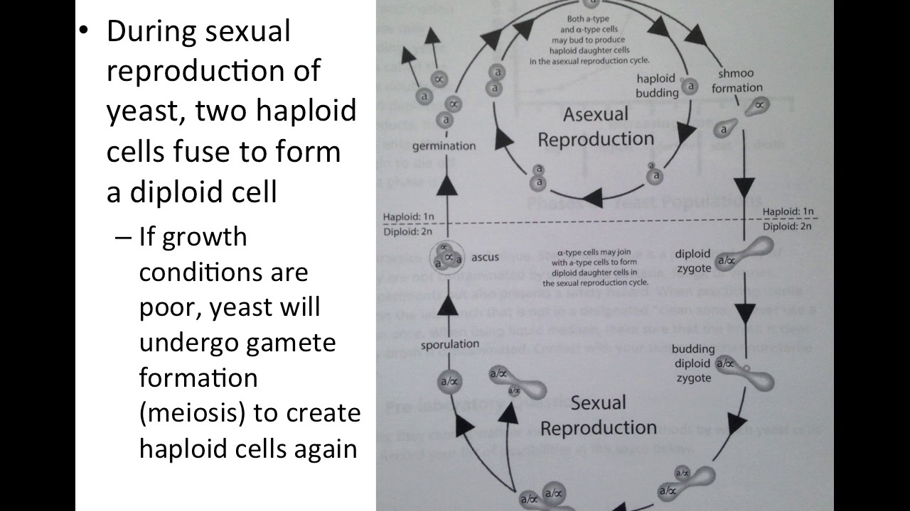 Asexual reproduction budding information and communication