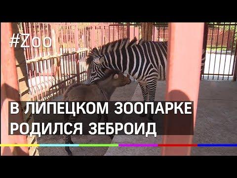 Рождение зеброида повергло в шок и умиление сотрудников Липецкого зоопарка