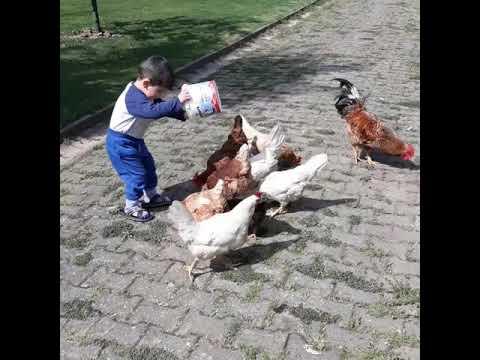 Sevimli tavuklar