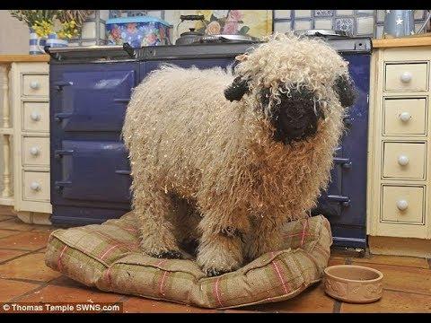 """Из-за дружбы с лабрадором эту """"овцу"""" приходится заново учить быть овцой. Вы только посмотрите!"""