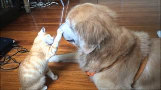 Kitten Growing up with Dog Best Friend