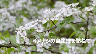 🏯桑名 多度🌿イヌナシ🌱自生地を訪ねて 豆梨 国指定天然記念物 レッドリスト絶滅危惧IB類 4K撮影 videopage.net