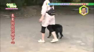 訓練狗狗乖乖跟隨主人散步的方法(日文內容,中文字幕)