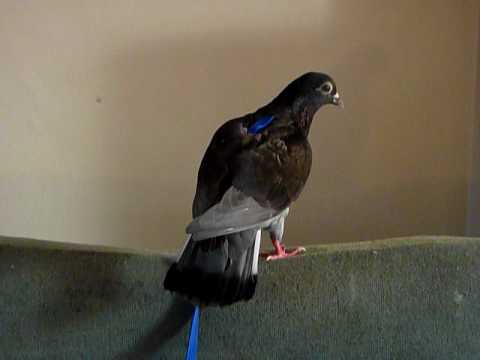 Pet Pigeon Georgie Getting Used To A Bird Harness
