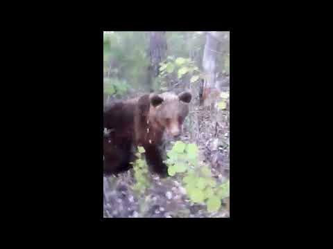 «Он мне руку прокусил» – в соцсетях постят видео с нападением медведя на человека